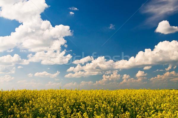 Golden rapeseed field. Stock photo © lypnyk2