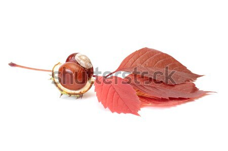 Splendid view of chestnuts and leaves. Stock photo © lypnyk2
