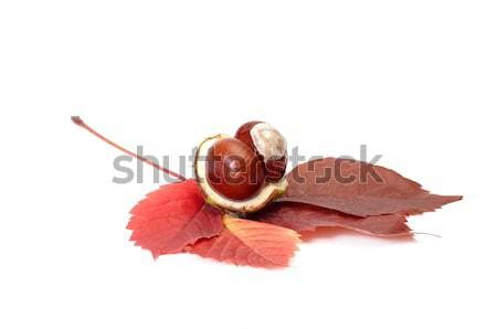 Chestnuts and oak leaf on a white. Stock photo © lypnyk2