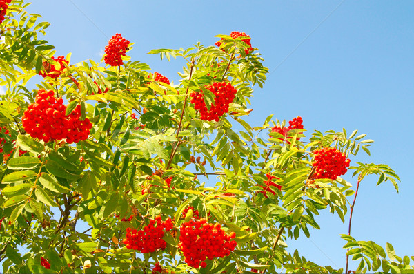 Blue sky and tree of ripe rowanberry. Stock photo © lypnyk2