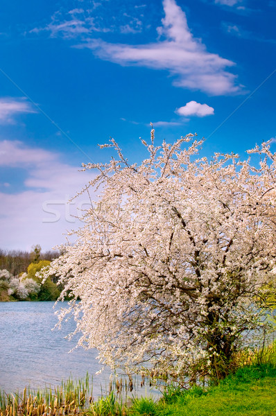Blooming tree and nice lake  by springtime. Stock photo © lypnyk2