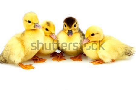 üç küçük ördek yavrusu yalıtılmış genç Stok fotoğraf © lypnyk2