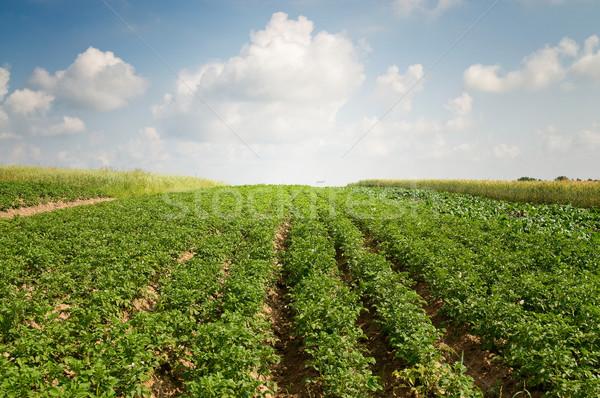 Krumpli mező nyáridő tájkép ültetvény virág Stock fotó © lypnyk2