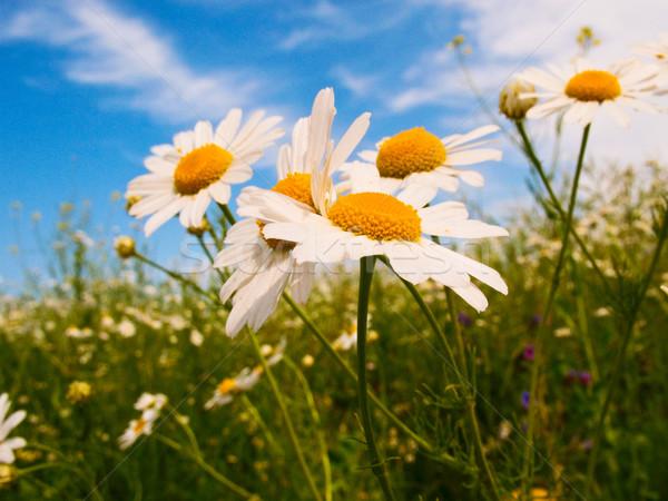 Silenzio cielo blu bella fiore tramonto estate Foto d'archivio © lypnyk2