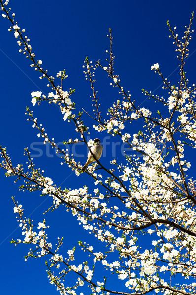 Veréb virágzó szilva tavasz kicsi énekel Stock fotó © lypnyk2