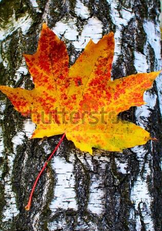 клен листьев Кора береза дерево два Сток-фото © lypnyk2