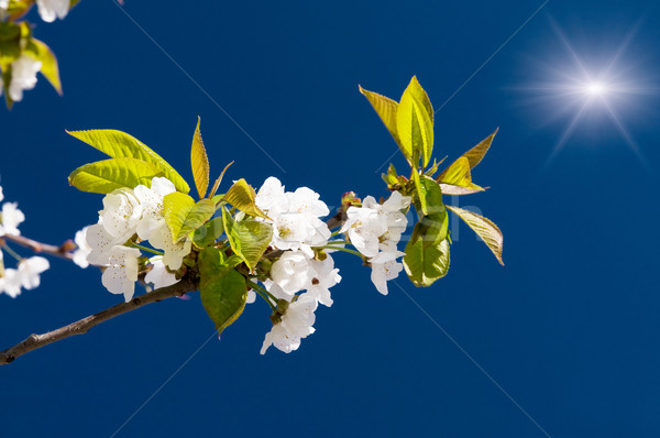 Fantastic beams above  image of blooming cherry. Stock photo © lypnyk2
