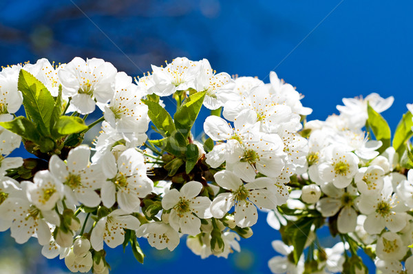 Splendid  image of blooming cherry. Stock photo © lypnyk2