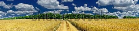 Mező tele arany búza elképesztő kilátás Stock fotó © lypnyk2