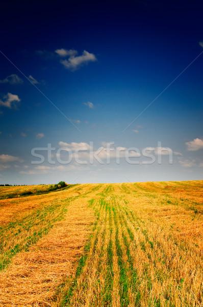 Alan buğday şaşırtıcı mavi gökyüzü beyaz bulutlar Stok fotoğraf © lypnyk2