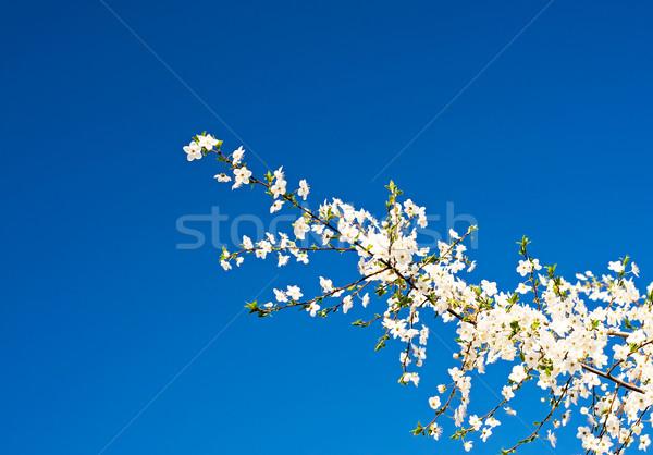 Csodálatos szilva fa virág ág égbolt Stock fotó © lypnyk2