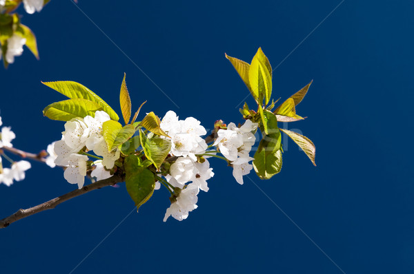 Blooming of cherry tree. Stock photo © lypnyk2