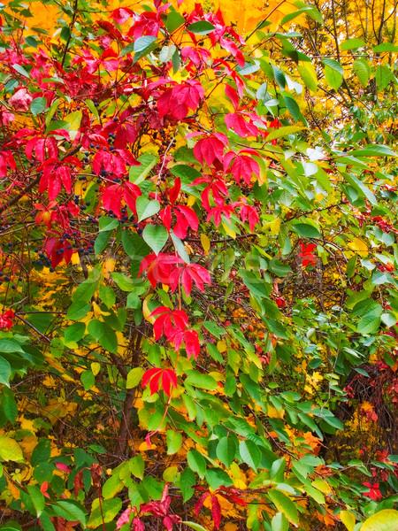 Splendid,colorful leaves on the tree. Stock photo © lypnyk2