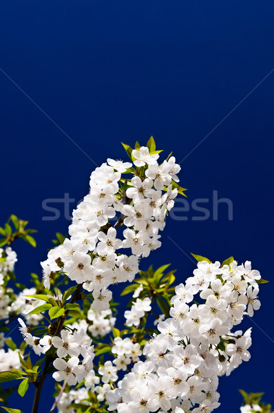 Nice image of blooming cherry. Stock photo © lypnyk2