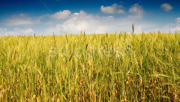 Summer landscape of wheat field. Stock photo © lypnyk2