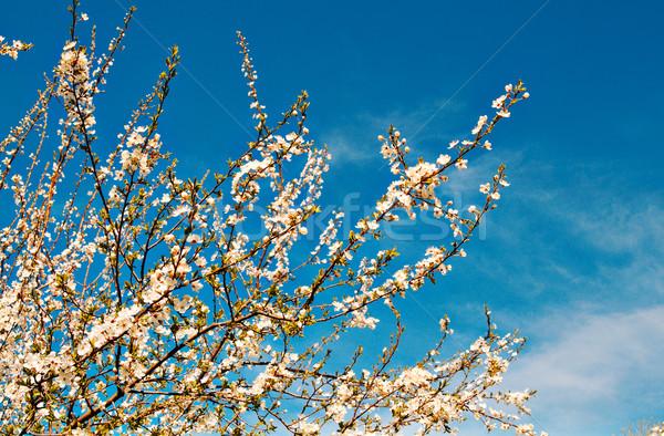 Plum tree flowers in spring. Stock photo © lypnyk2