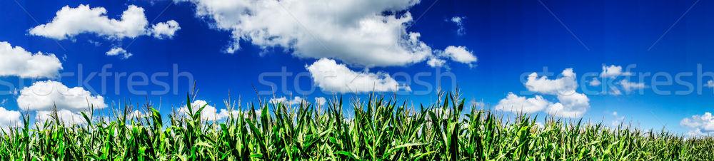 Színes kukoricamező nyár zöld mező fiatal Stock fotó © lypnyk2