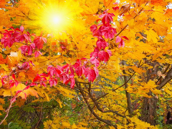 Wonderful sunbeams into fall forest. Stock photo © lypnyk2