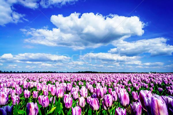 Fenséges mező tulipánok Hollandia szép lila Stock fotó © lypnyk2