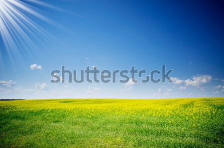 Golden rapefield. Stock photo © lypnyk2