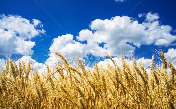 лет мнение зрелый пшеницы Blue Sky Сток-фото © lypnyk2