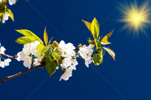 Bella ciliegio albero fiore divertimento sole Foto d'archivio © lypnyk2