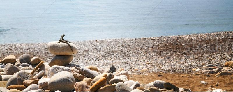 Little lizard seating on the stones. Stock photo © lypnyk2