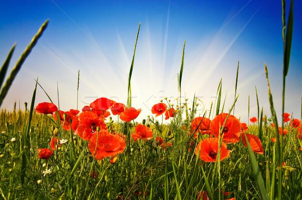 Csodálatos legelő nyár zöld mező tele Stock fotó © lypnyk2