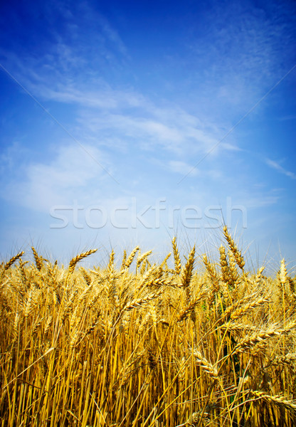 Zomer rijp tarwe gouden blauwe hemel Stockfoto © lypnyk2