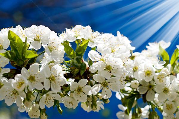 Astonishing image of blooming cherry. Stock photo © lypnyk2