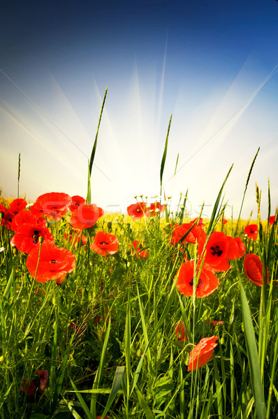 Csodálatos legelő nyár piros pipacsok kék ég Stock fotó © lypnyk2
