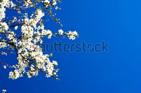 Beautiful plum tree blossom.   Stock photo © lypnyk2