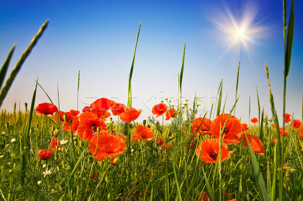 Wonderful poppies and fun sunbeams. Stock photo © lypnyk2