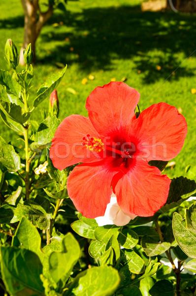 Wonderful flower of hibiscus. Stock photo © lypnyk2