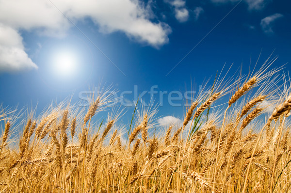 Stock photo: Golden, ripe wheat in the blue sky background.