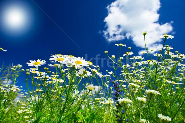 Wonderful camomiles against blue sky background. Stock photo © lypnyk2