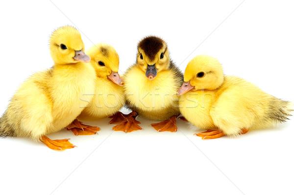Quattro piccolo isolato uccelli Foto d'archivio © lypnyk2