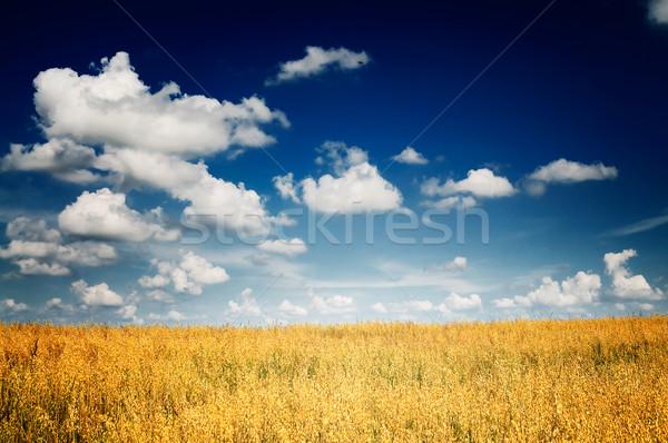 Fine harvest of golden,ripe oats. Stock photo © lypnyk2