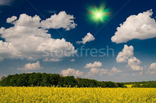 Wonderful golden rapeseed field and white clouds. Stock photo © lypnyk2