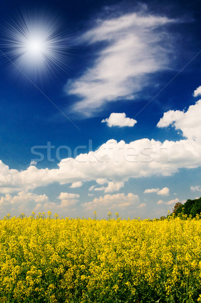 Excellent golden rapeseed field and white clouds. Stock photo © lypnyk2