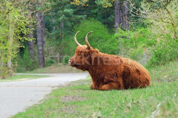 Highland Bull Stock photo © macsim