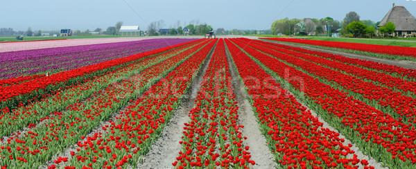 Tavasz mező piros tulipánok panoráma Hollandia Stock fotó © macsim