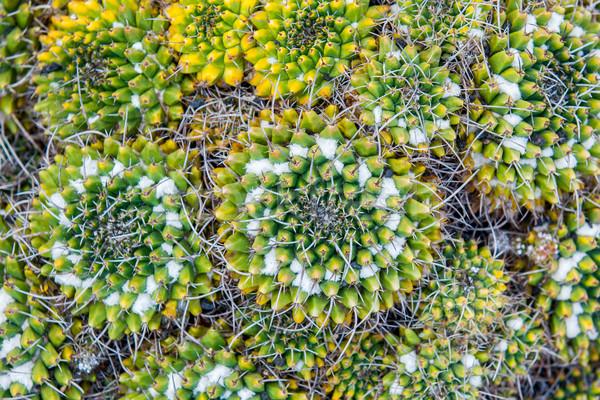 Close-up cactus Stock photo © macsim