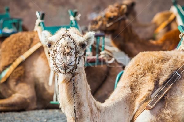 Kameel park wachten toeristische Stockfoto © macsim