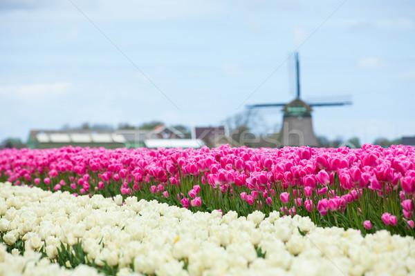 Tulips and windmill Stock photo © macsim
