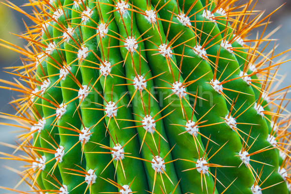Cactus exotique plantes feuille jardin Photo stock © macsim