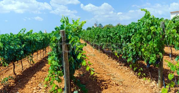 Mooie druiven eiland majorca Spanje Stockfoto © macsim