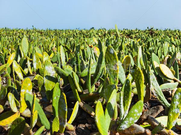 Zöld kaktusz mező panoráma vulkáni sziget Stock fotó © macsim