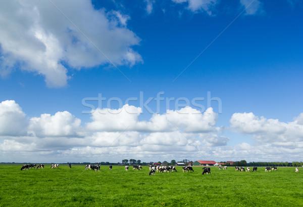 Typisch nederlands landschap koeien natuur zomer Stockfoto © macsim