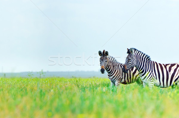 Zebra in the spring steppe Stock photo © macsim